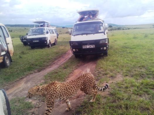 Guepardo Cheetah