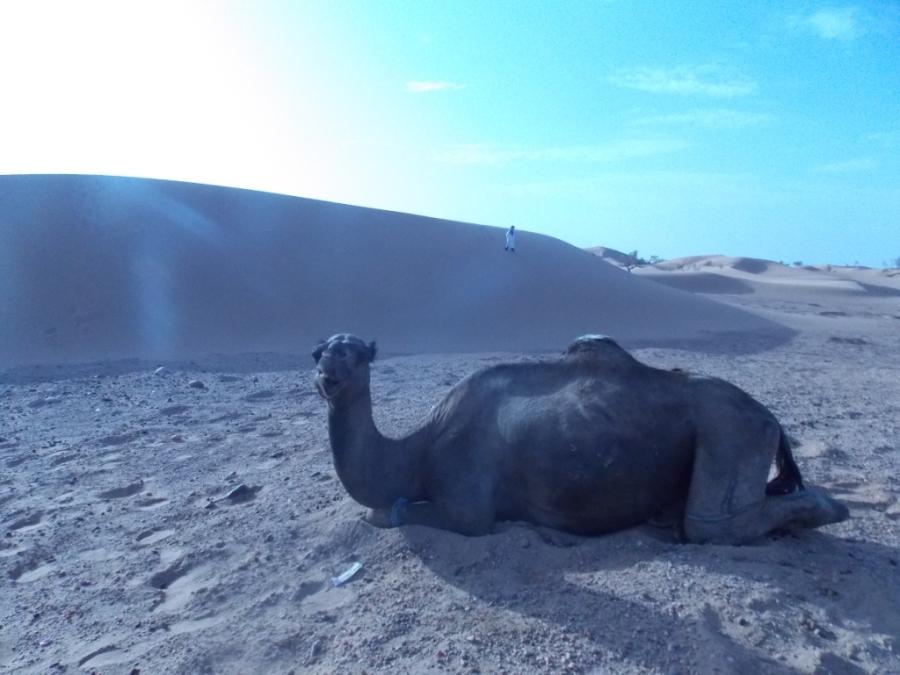 Resting on Sahara Descansando no Saara
