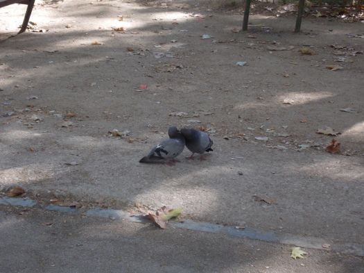 Pigeons in Love Pombos se amando