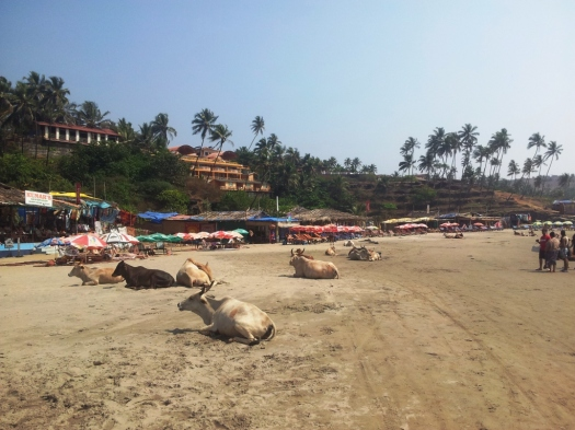 Vacas curtindo Goa. Cows in goa.