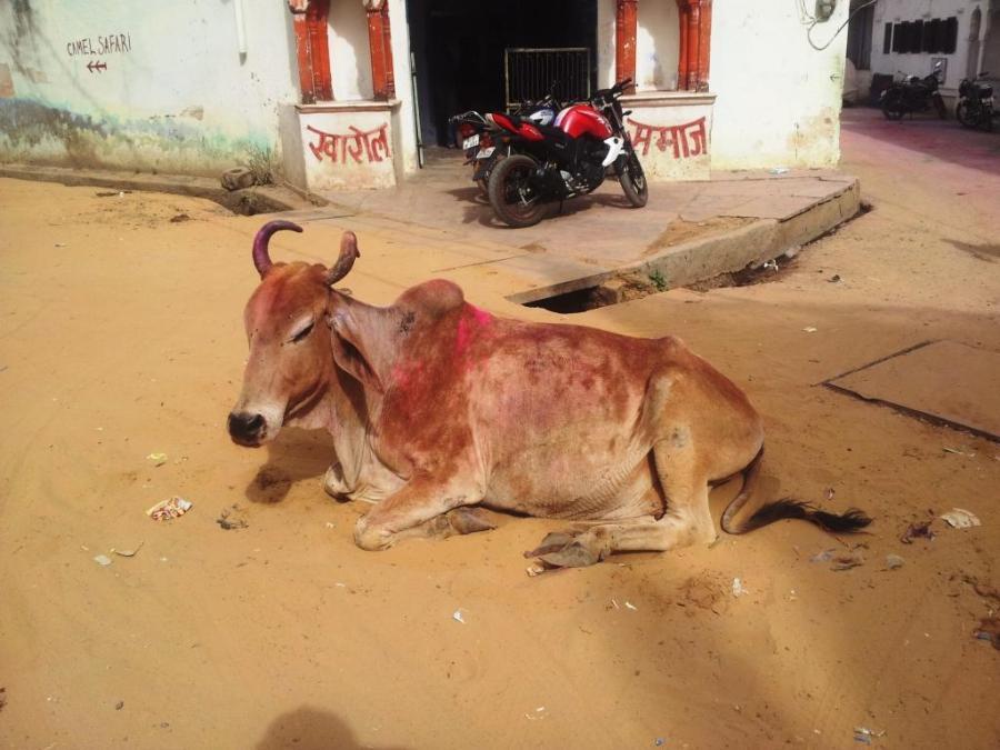 Nem a vaca escapou