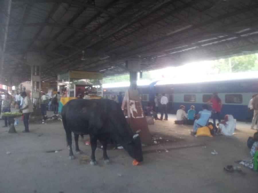 Vaca na Estação